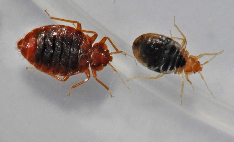 two bed bugs on carpet